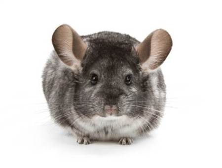Chinchilla2